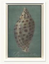 Pyramidella Shell On Glass